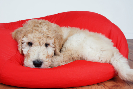 poodle mix: Goldendoodle puppy resting on red cushion