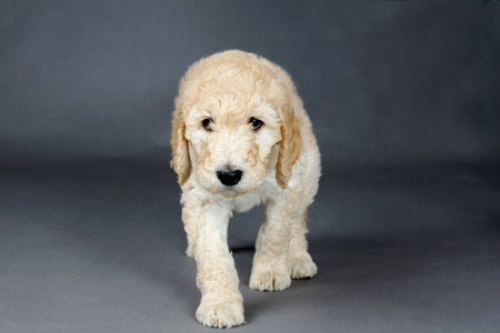 woolly: Sad face goldendoodle pup