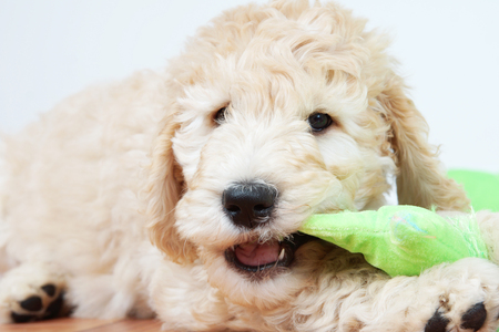 poodle mix: Cute puppy dog chewing a toy