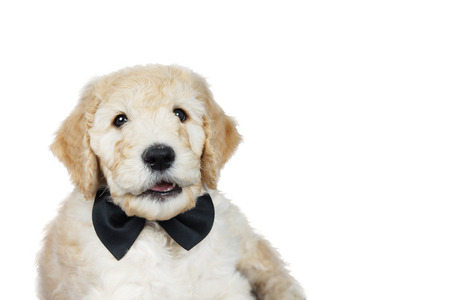 Cute goldendoodle puppy with black bow tie over white