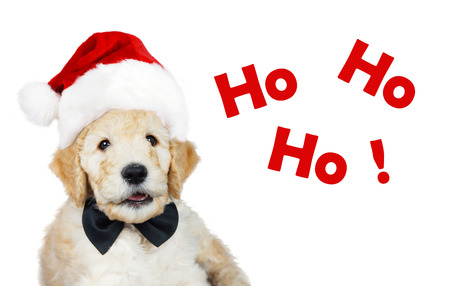 Cute goldendoodle puppy with Santa Christmas hat and black bow tie
