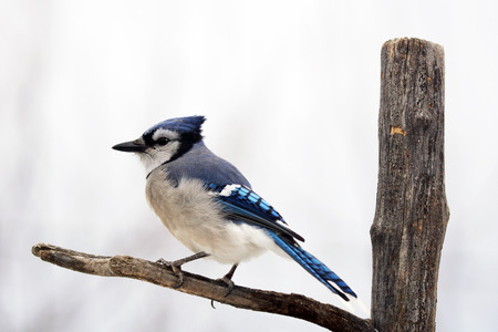 blue jay bird: Blue jay bird, Cyanocitta cristata, on branch Stock Photo