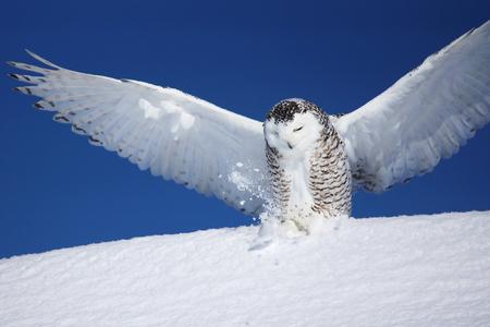 Open wings, snowy owl, Bubo scandiacus, landing on the snow Stock fotó