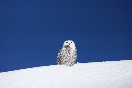 Snowy owl, Bubo scandiacus, on snow