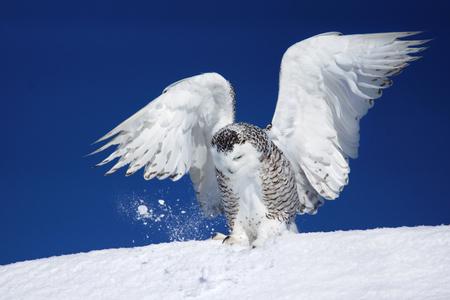 búho nival, Bubo scandiacus, con las alas abiertas tratando de atrapar a su presa en la nieve Foto de archivo