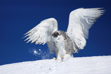 Snowy owl, Bubo scandiacus, with open wings trying to catch prey in the snow