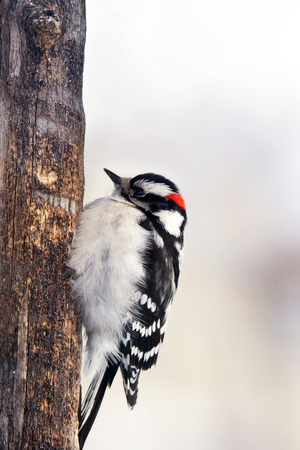 fluffy tuft: Male Downy woodpecker, Picoides pubescens, perched on old trunk