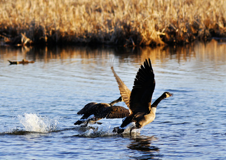 Canadian geese, Branta canadensis, taking off