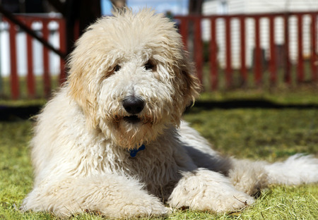 furry: Furry goldenddodle dog in the yard Stock Photo