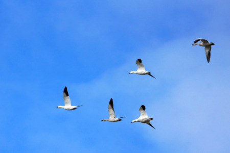 Snow geese, Chen caerulescens, with goosling in flight over blue sky Stock fotó