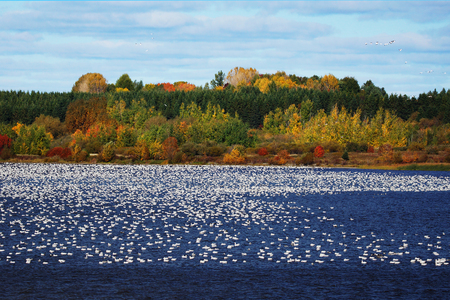 Large flock of Snow geese, Chen caerulescens, on water.