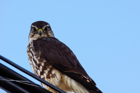Merlin, Falco columbarius, on a wire looking down Stock fotó