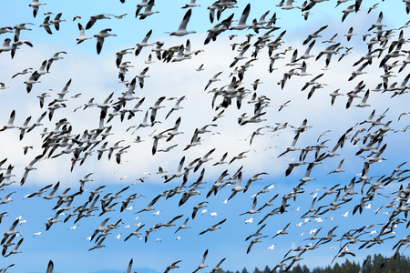 Large flock of Snow geese, Chen caerulescens, in flight during migration.