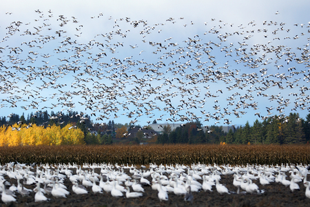Large flock of snow geese, Chen caerulescens, in flight and in plowed field.