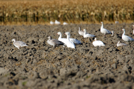 Snow geese, Chen caerulescens, with gosling resting in plowed field during migration. Stock fotó