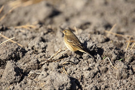 American Pipit, Anthus rubescens, in plowed field.