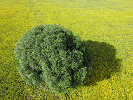 Aerial of willow tree in yellow canola or rapeseed field