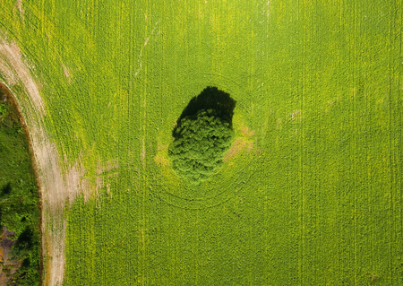 Aerial view of single willow tree in yellow canola field