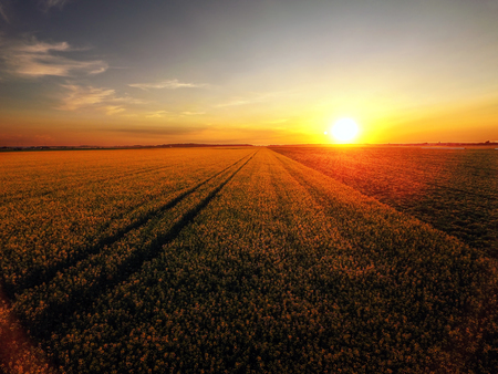 Sunset over canola field in bloom