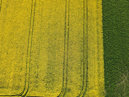 Aerial view of field of yellow canola and green soybean