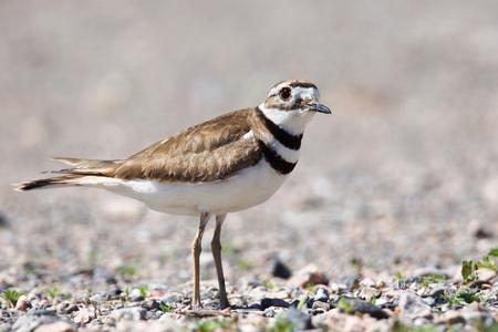 Killdeer shorebird close Stock fotó - 90884522