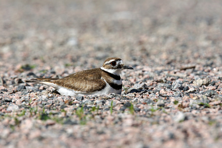 Killdeer, Charadrius vociferus, bird nesting on rocks