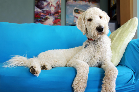 Goldendoodle dog resting on couch Stock fotó - 90884523
