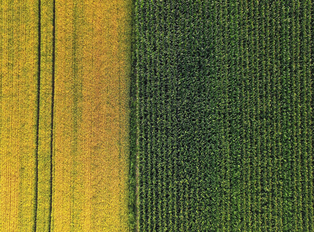 Aerial of corn and barley field,vertical lines, yellow and green contrast