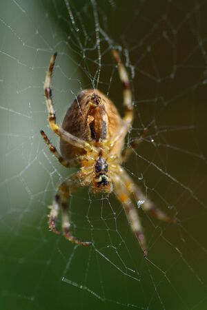 Garden spider, Araneus diadematus, waiting in the middle of its web.