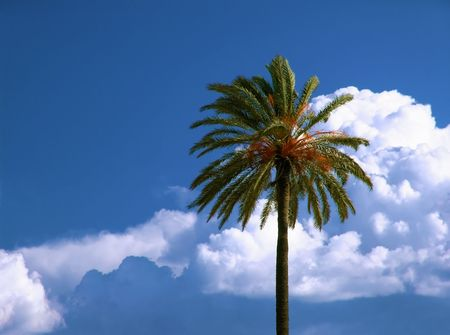 Date palm tree and cumulonimbus cloud formation in deep blue sky
