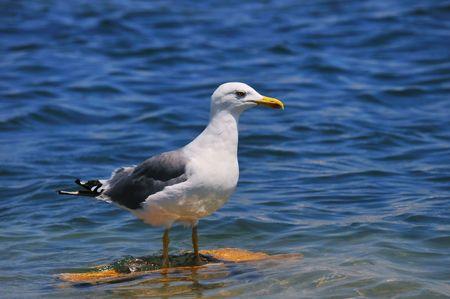 larus: Gull - Larus cachinnans lusitanius