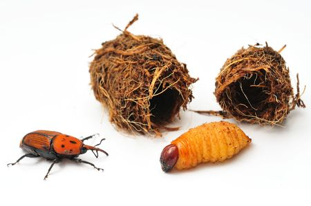Red palm weevil grub, cocoon and adult weevil.