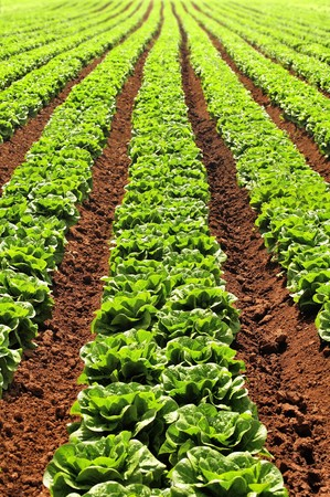Lettuces growing in converging rows like a green arrow head.