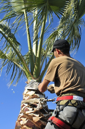Tree Surgeon Prunes a Palm Tree