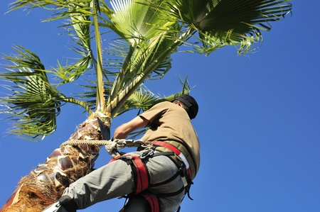 trimming: Man Trims a Palm Tree
