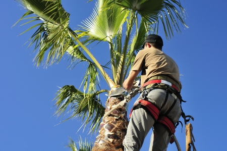 Palm Tree Surgeon at Work