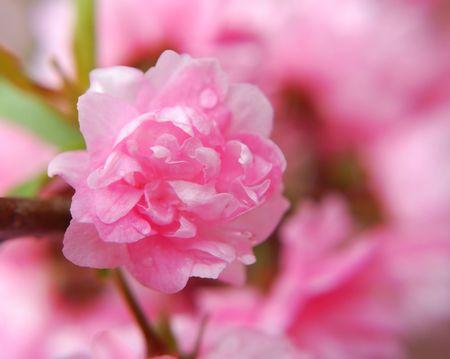 Flowering Almond Archivio Fotografico