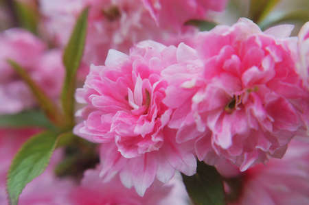 Flowering Almond Blossoms Stock Photo
