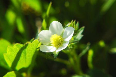 Wild berry blossom in sunlight