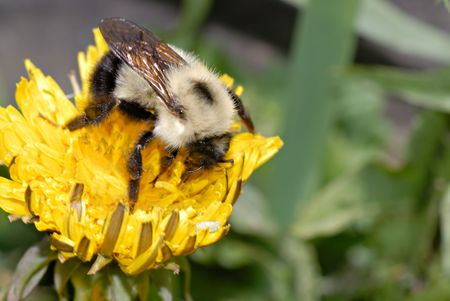 Macro of a young bumble bee searches for pollen on a dandelion. Archivio Fotografico