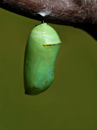 The beautiful jade green monarch butterfly chrysalis hanging from a tree branch. Archivio Fotografico