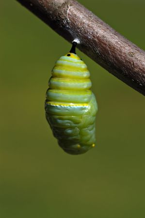 A monarch butterfly caterpillar wiggles and settles into its crysals before the cacoon hardens. Archivio Fotografico