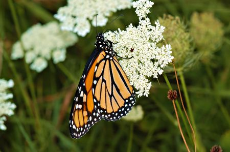 The beautiful Monarch butterfly. Here it is feeding on a Queen Anne's Lace flower.