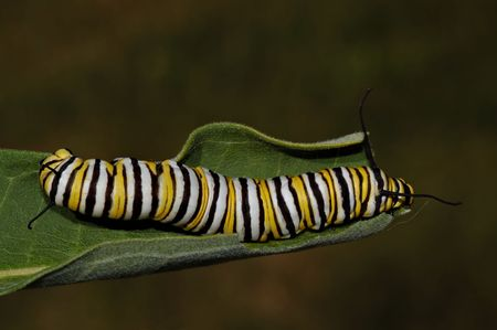 Monarch butterfly caterpillar leaves on milkweed leaves. The bitter plant, which is poisonous to many the caterpillars natural predators, is absorb making the caterpillar poisonous as well.