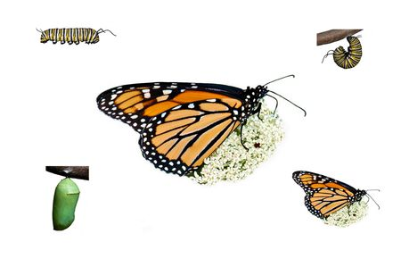 A simple compilation of the monarch butterfly life cycle from caterpillar thru adult on white.