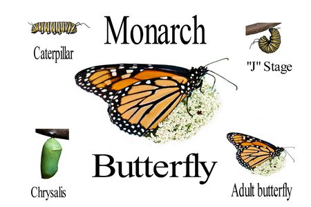 A simple compilation of the monarch butterfly life cycle from caterpillar thru adult on white with text.