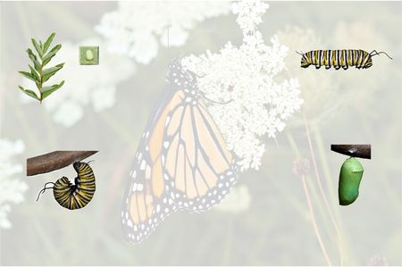 A simple compilation of the monarch butterfly life cycle from caterpillar thru adult with opaque background. Archivio Fotografico