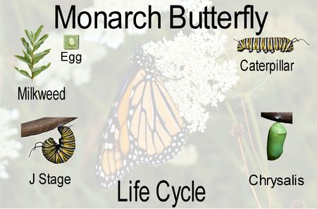 A compilation of the monarch butterfly life cycle from egg thru adult with opaque background with identifying text added. Archivio Fotografico