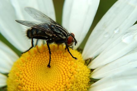Macro of a common housefly sitting on a daisy. Notice the nifty suction cup feet on this creature.