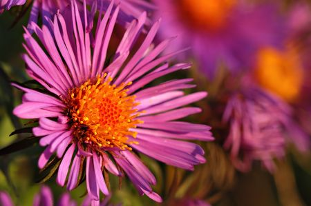 A beautiful New England Aster glows in the early evening sunlight. Archivio Fotografico